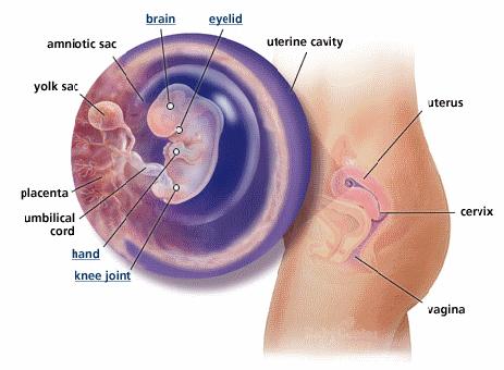 Anatomie saptamana 9 de sarcina